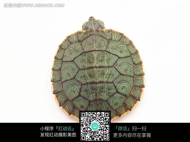 只露出头的巴西龟_陆地动物图片