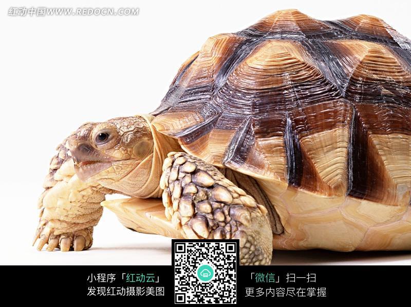 免费素材 图片素材 生物世界 陆地动物 褐色乌龟的前脚特写  请您分享