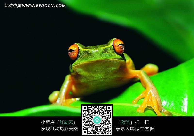 免费素材 图片素材 生物世界 陆地动物 绿色树蛙微距高清摄影图  请您