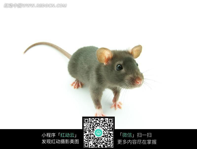 免费素材 图片素材 生物世界 陆地动物 一直绿色老鼠  请您分享: 素材
