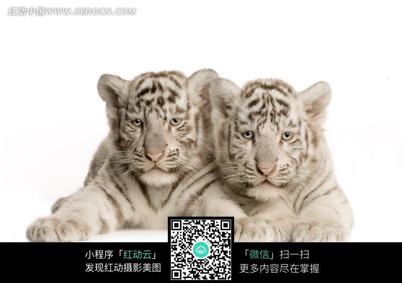 免费素材 图片素材 生物世界 陆地动物 两只趴着的白色小老虎  请您
