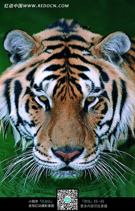 免费素材 图片素材 生物世界 陆地动物 水里露出的一只虎头