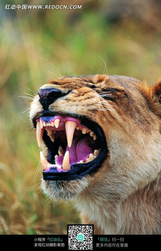 神奇的动物 獠牙 摄影素材 母狮  动物世界特写 动物 动物图片 动物