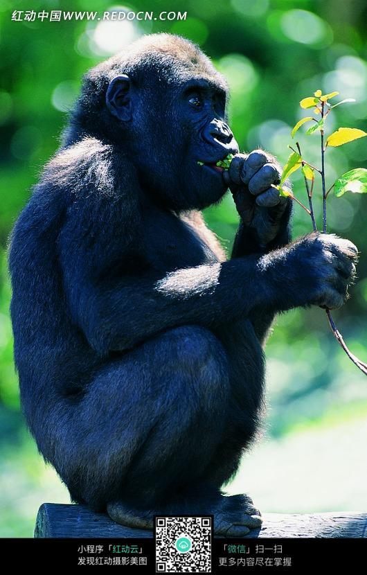 吃着树叶的猩猩宝贝图片_陆地动物图片