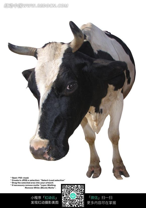 一个瞪着牛眼睛盯着镜头的奶牛图片免费下载 红动网