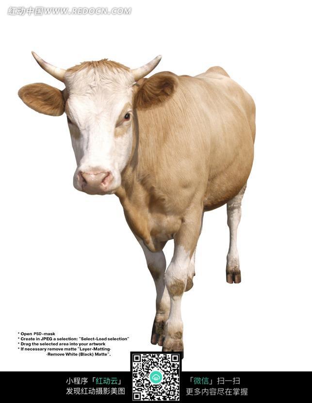 可爱 小牛 小黄牛 家畜 动物 陆地动物  图片素材 动物图片 动物照片