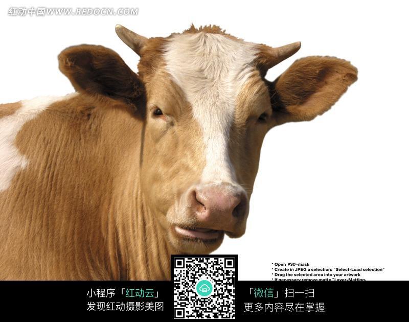 棕色带白色斑纹的牛头特写图片