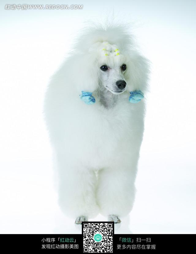 站立的白色贵宾犬_陆地动物图片