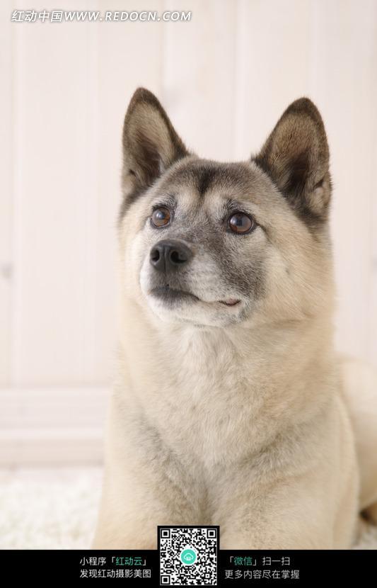 竖着耳朵的小狗图片(编号:747009)_陆地动物_生物世界_图片素材