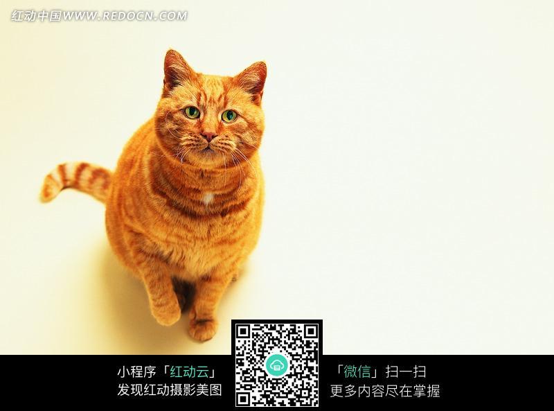一只抬头望的黄猫图片_陆地动物图片