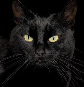 黑色猫咪犀利的眼神
