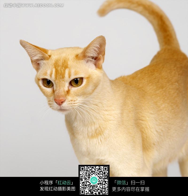一只黄色的小猫咪图片