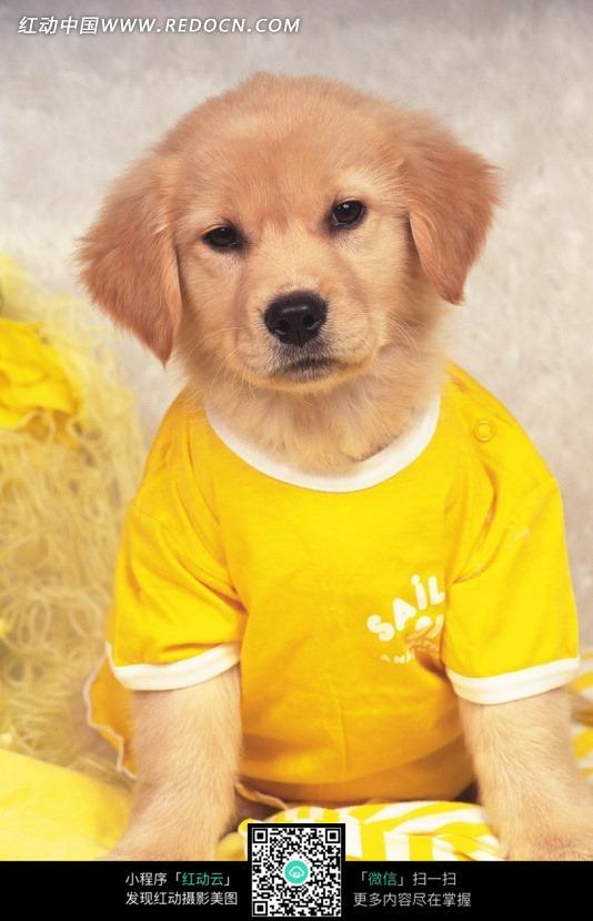穿黄色衣服的棕色的小狗图片