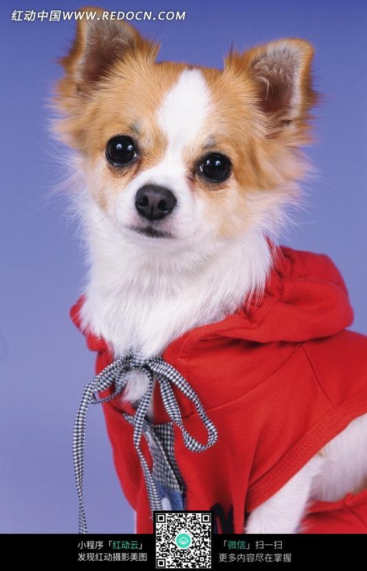 动物 小狗 宠物 可爱 红色 衣服 动物图片 动物照片 摄影图片