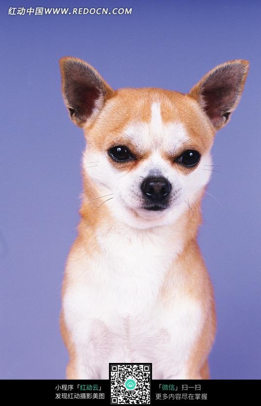 一只腹部白色的尖耳朵的狗图片-动物|植物|生物图片下载(编号:748343)