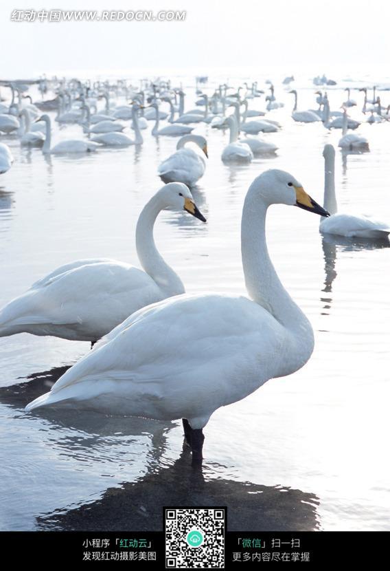 一群在湖中休憩的天鹅图片_自然风景图片