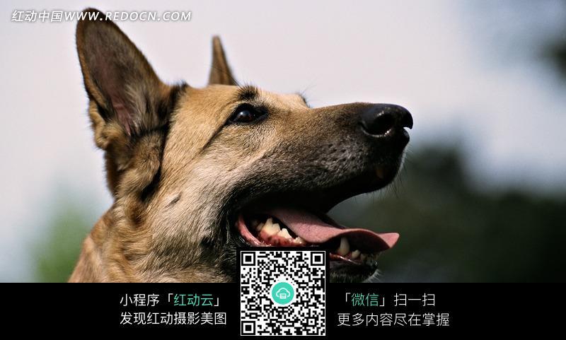 张着嘴的可爱狗狗_陆地动物图片