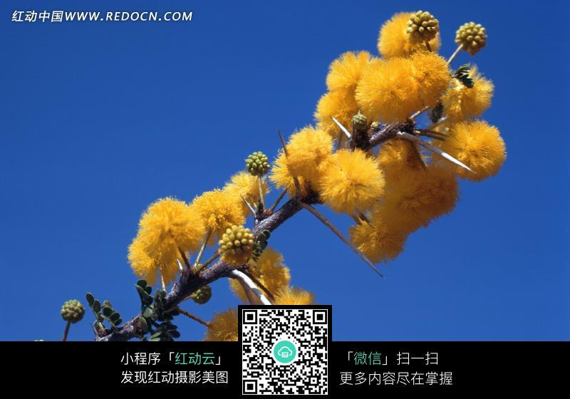 黃色花朵 枝條 藍色背景 風景 動物 動物圖片 動物照片 攝影圖片