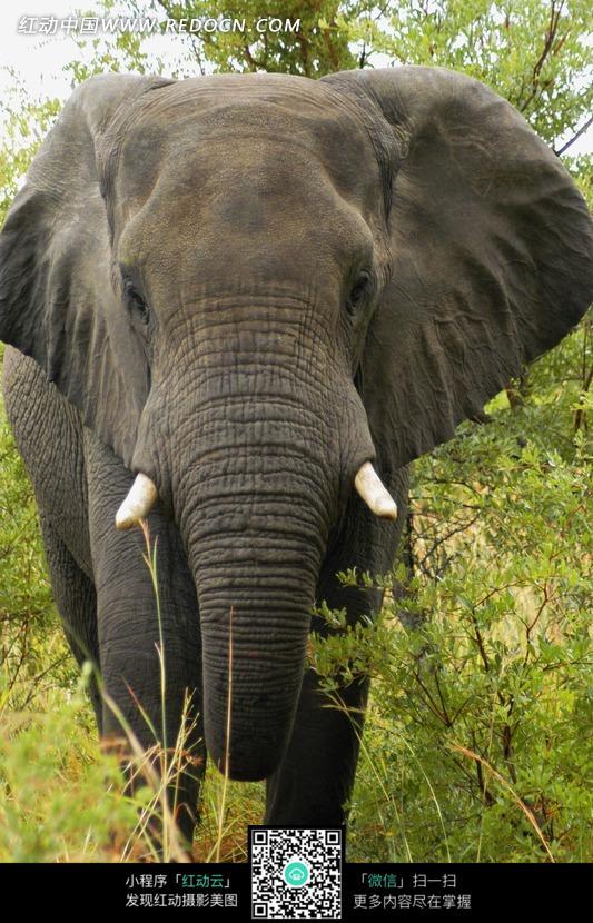 一头行走中的大象图片_陆地动物图片
