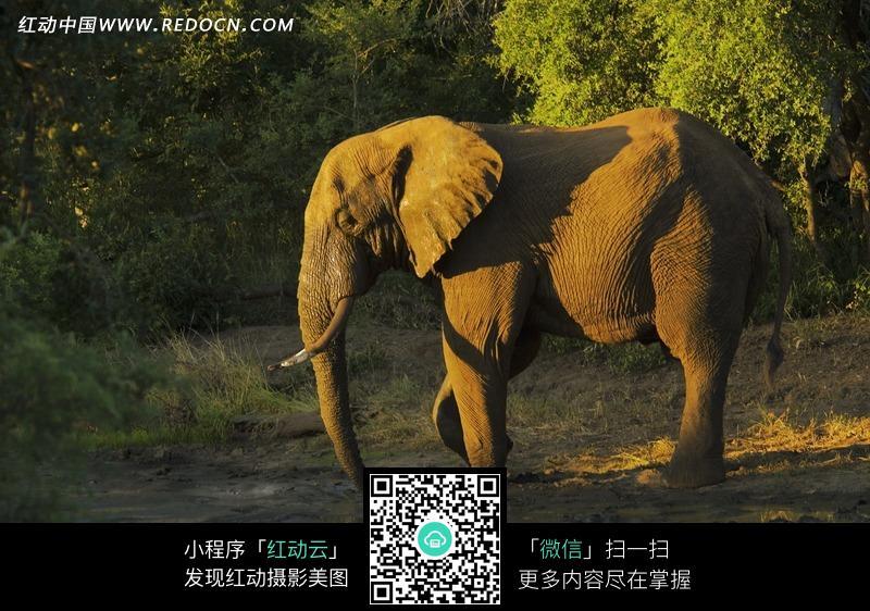 大象 草原 森林 野生 动物世界 摄影 湖边  动物 动物图片 动物照片