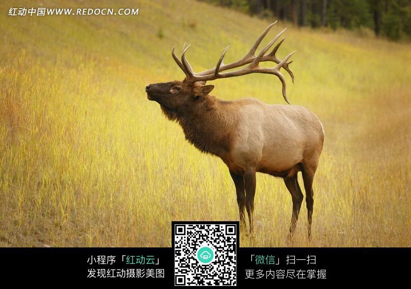 驯鹿 雄性驯鹿 草丛 动物 图片素材 野生动物 摄影图片 动物图片 动物