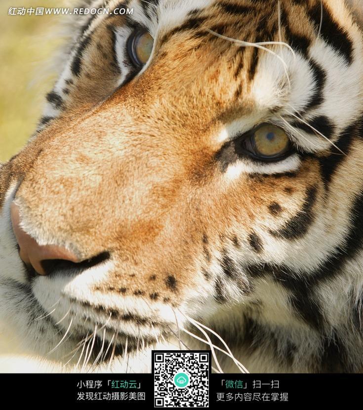 老虎头部图片图片
