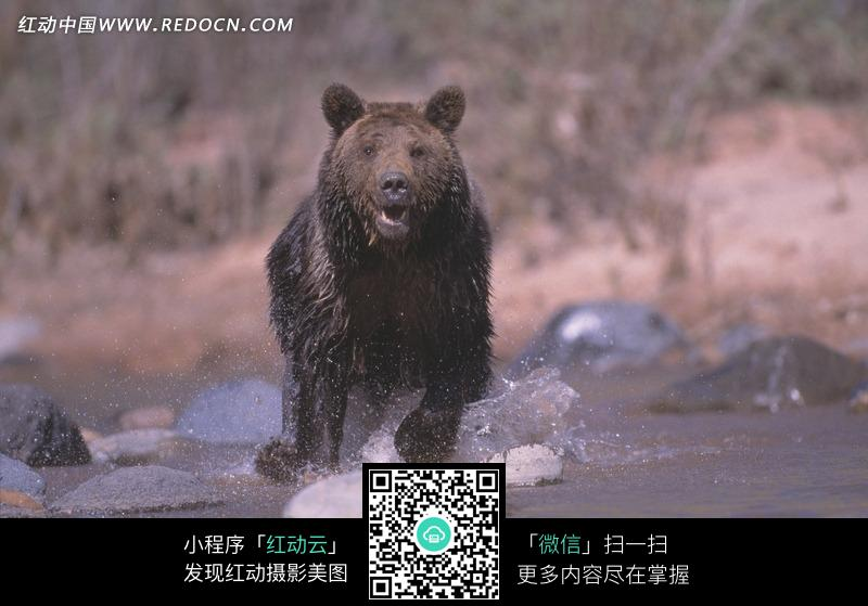 在湖边奔跑的黑熊图片_陆地动物图片
