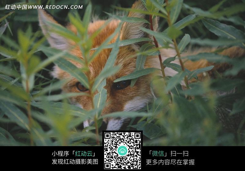 草丛中的狐狸