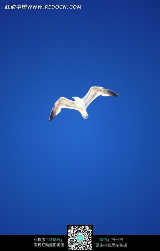 蓝天中的海鸥_陆地动物图片