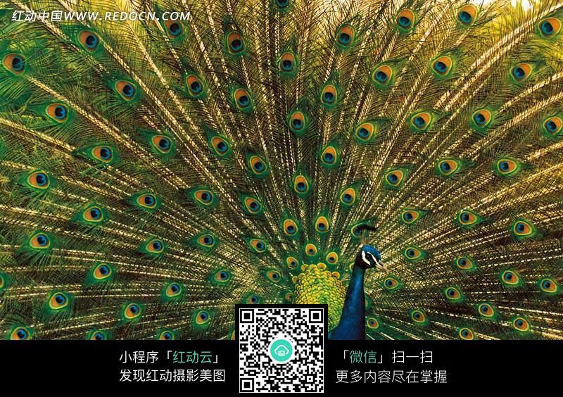 美丽的孔雀开屏_陆地动物图片