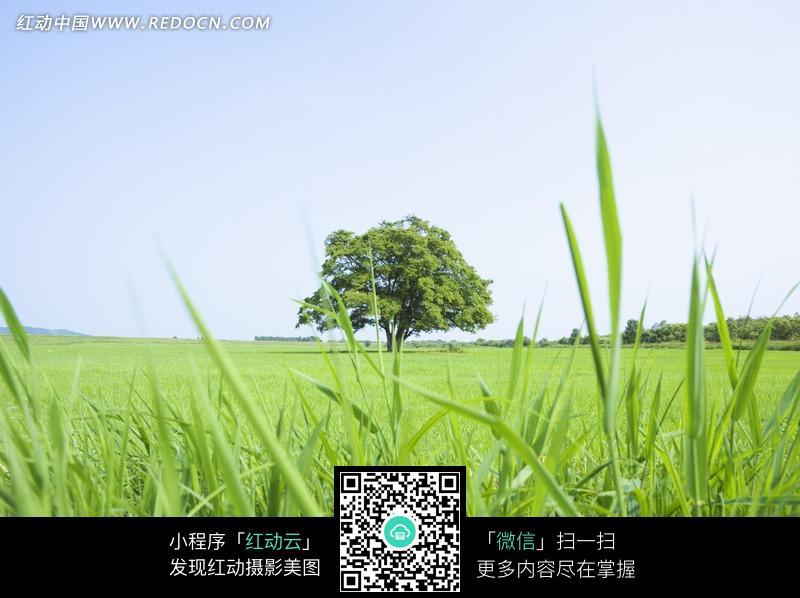 青青草原里一棵独立的大树图片免费下载 红动网