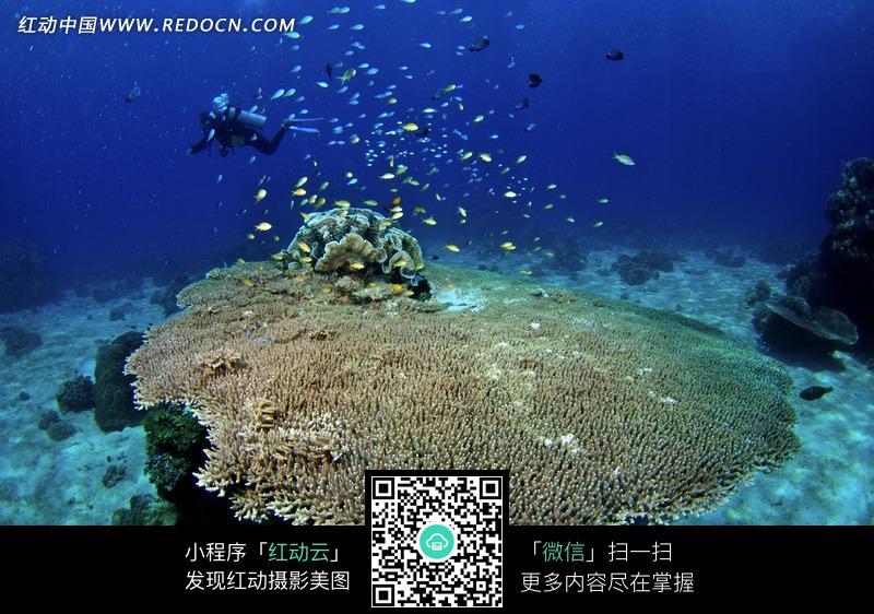 潜水员/树枝状珊瑚/鱼群构成的图片