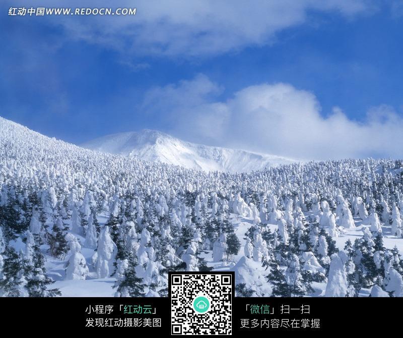 冰天雪地里一大片松树林