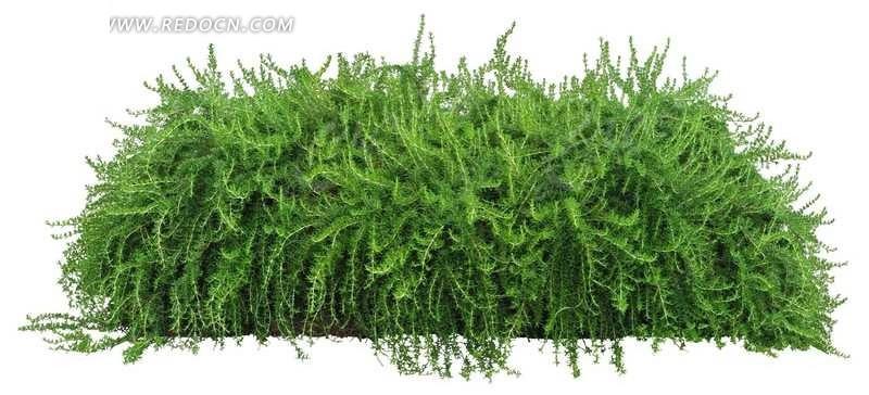 迷迭香 花草 树木 绿化