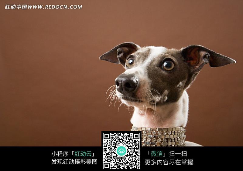 免费素材 图片素材 生物世界 陆地动物 > 迷你杜宾犬特写图片  免费