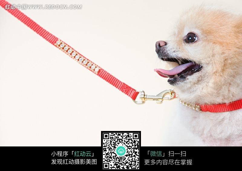 带着狗绳的松鼠犬侧脸_陆地动物图片