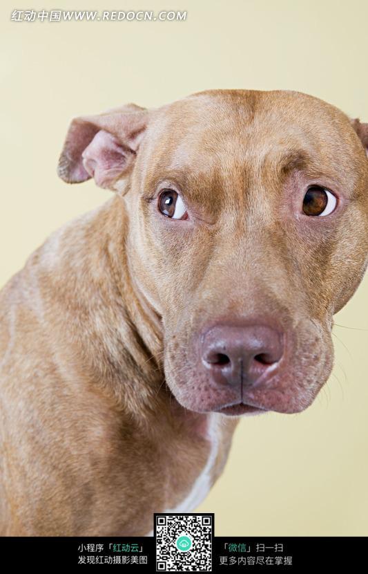 转头望的棕色的耳朵耷拉着的狗_陆地动物图片