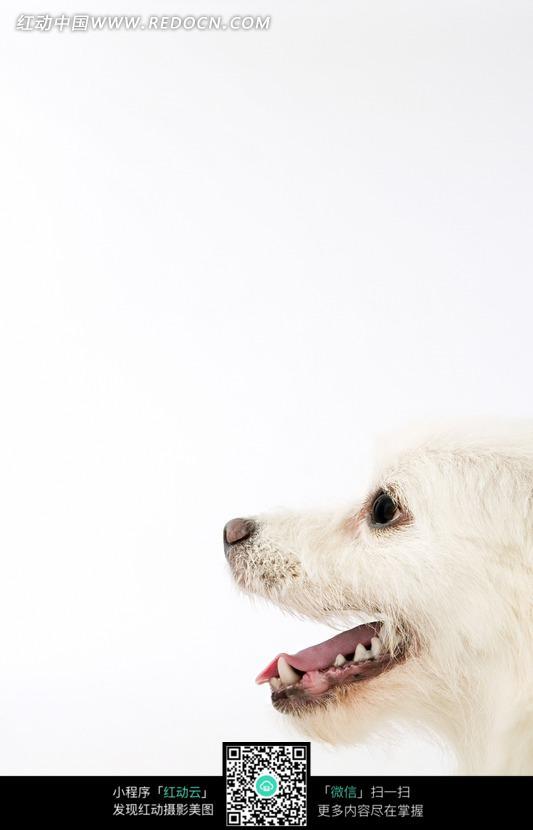 张嘴的白色的狗的头部特写