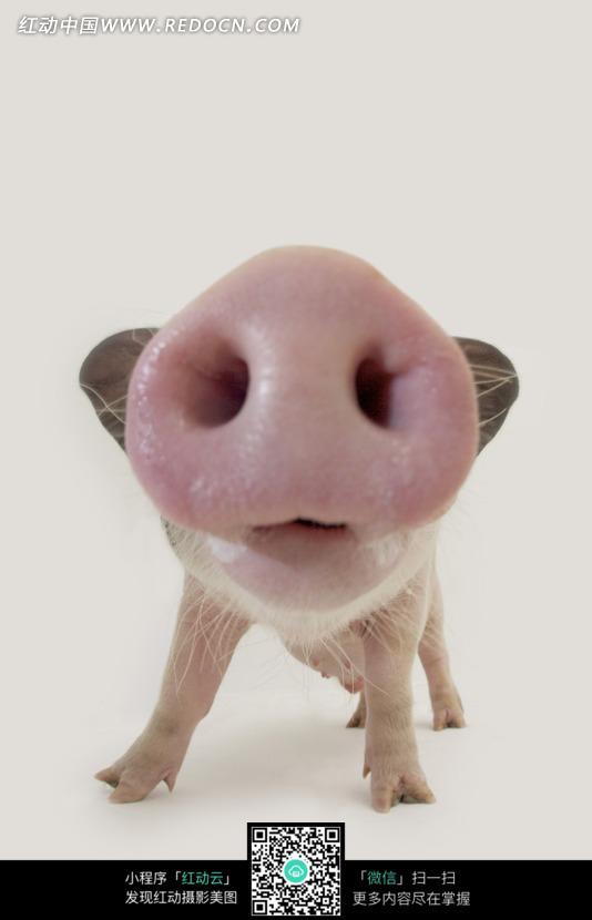 猪鼻子的特写镜头