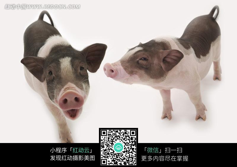 两只不同角度的宠物猪摄影图片