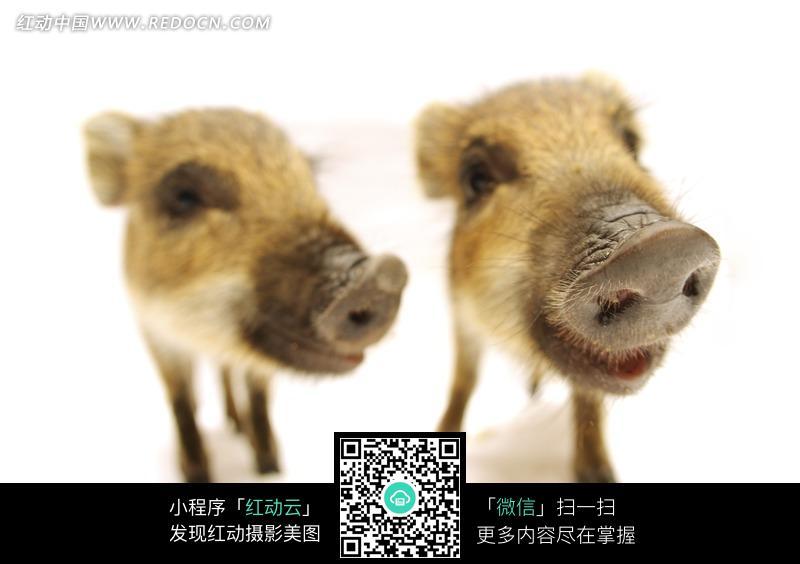 两只小野猪的头部特写图片