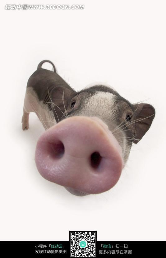 宠物猪鼻子特写镜头图片