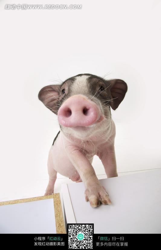 抬着头把前腿踩在木板上的小猪图片