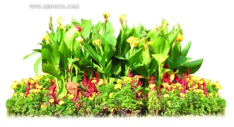 鸡冠花花坛景观抠图素材图片