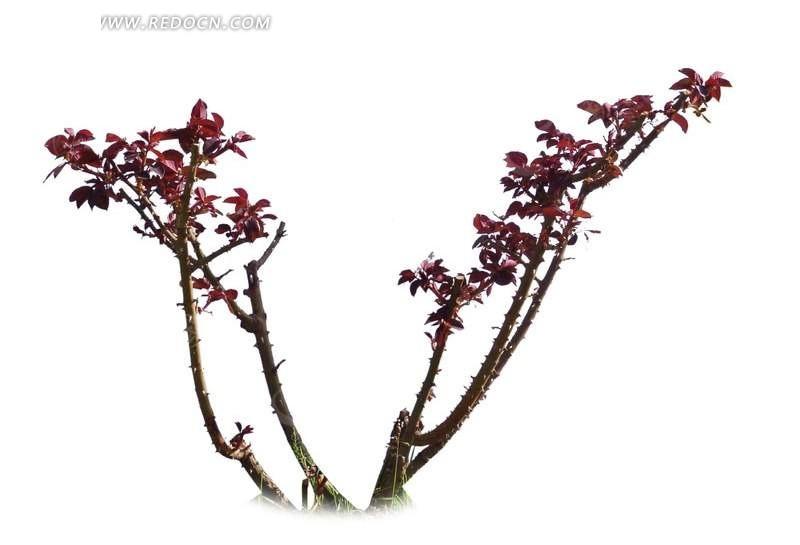 牡丹花枝干修剪图图片