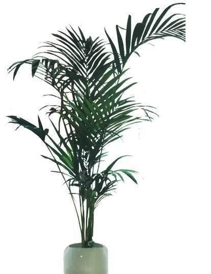 绿色针叶形植物盆栽psd设计素材