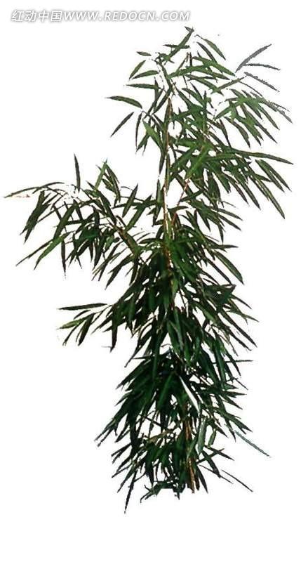 单株竹叶抠图素材_植物