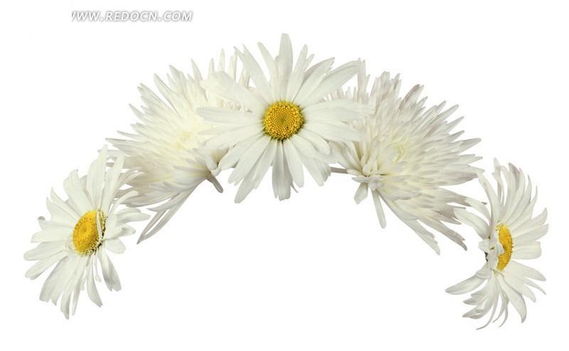 白色菊花抠图素材