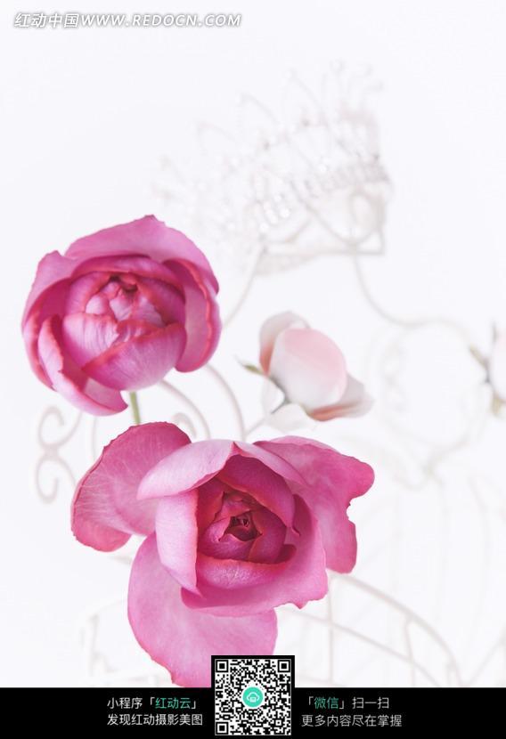 粉红玫瑰花花瓣花蕊特写