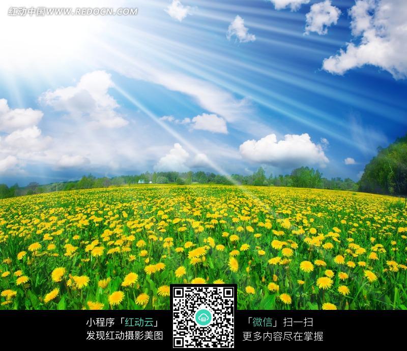 阳光下菊花园图片图片